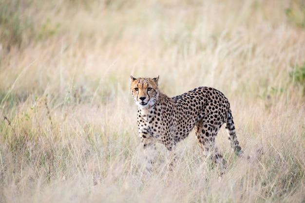 Гепард ходит по высокой траве саванны в поисках еды