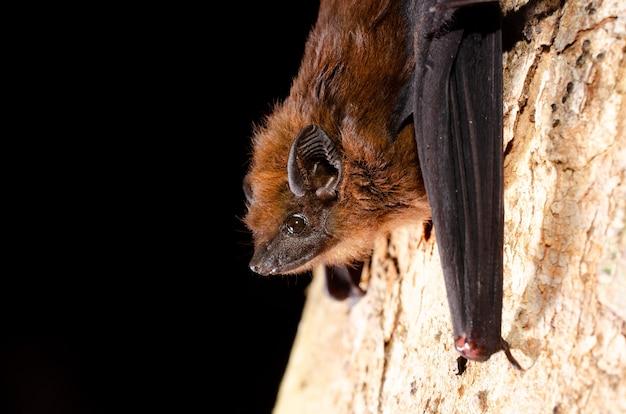 밤나무 날개 박쥐 (