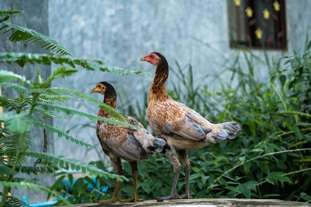 Цыпленок стоит в сельском саду в сельской местности. закройте курицу, стоящую на заднем дворе сарая с курятником.