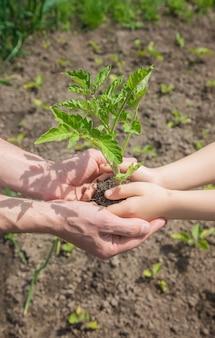 Ребенок и отец сажают в саду помидоры. выборочный фокус. люди.