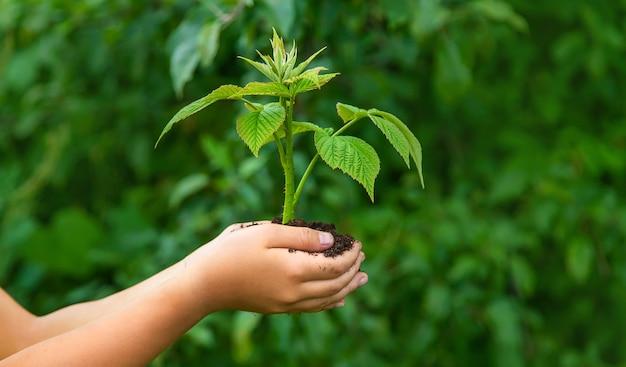 Ребенок держит в руках росток растения. выборочный фокус. природа.
