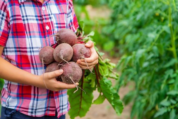 В саду ребенок держит в руках свеклу. выборочный фокус. еда.