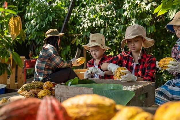 아이들은 코코아 꼬투리 포장 풀기, 코코아 씨앗이 노출된 신선한 카카오 꼬투리 컷,