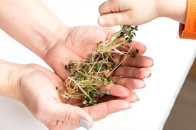 Рука ребенка берет недавно сорванный микрозелень из рук матери. концепция домашнего садоводства и выращивания зелени в помещении. здоровое питание и образ жизни.