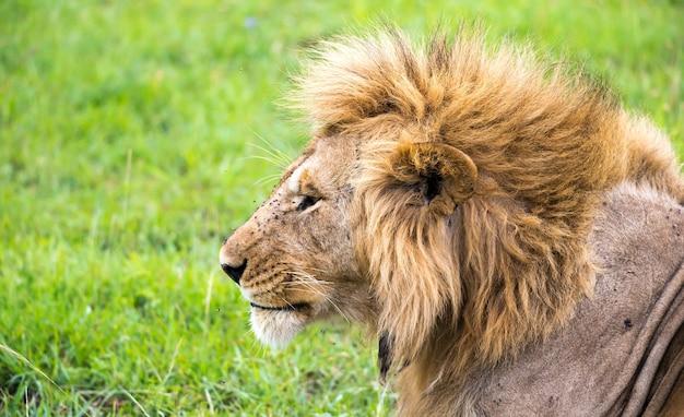 ケニアのサバンナでライオンの顔のクローズアップ