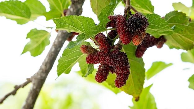 가장 가까운 붉은 뽕나무 과일 과일 베리 식물 뽕나무 붉은 야채