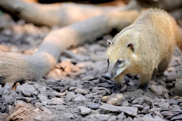 Коати (насуа) хищник из южной америки.