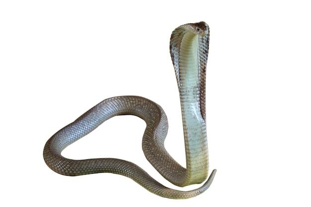白い背景の上のコブラヘビにはパスがあります