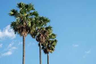 ココナッツとヤシの木は青い空の間で成長しています。