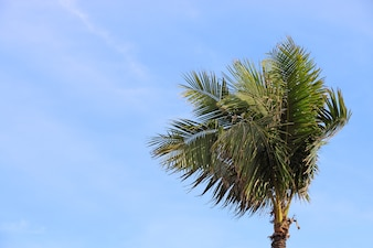 The Coconut Tree Under Blue Sky