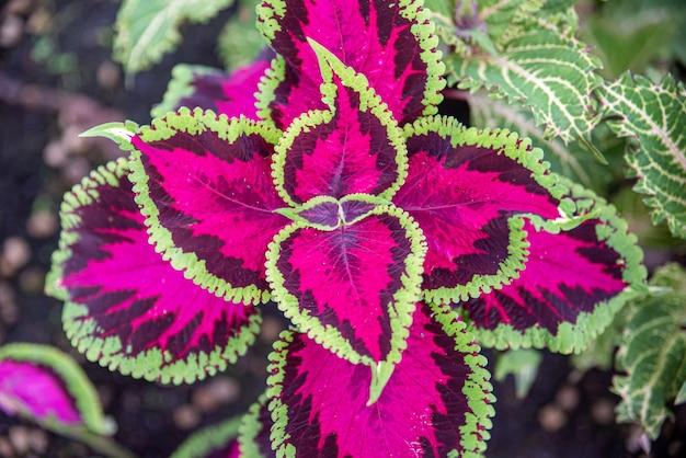 コレオ、ネイティブの多年生植物