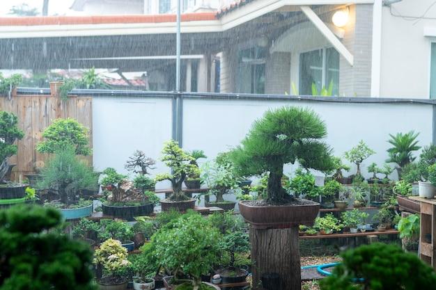 コレクターの盆栽は雨が降っています。 Premium写真