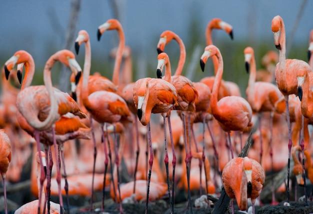 Колония карибских фламинго. куба. резерв рио максим.