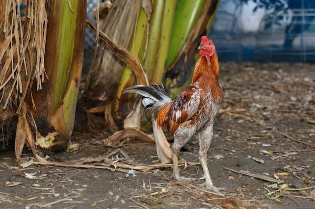 다채로운 싸움 수탉은 태국 농장에 살고 있습니다.