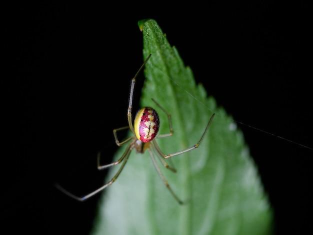 Обыкновенный конфетно-полосатый паук (enoplognatha ovata) Premium Фотографии