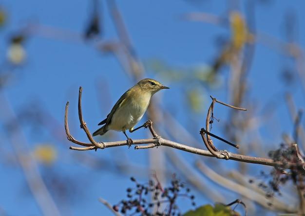青い空を背景に枝に座って撮影されたチフチャフ(phylloscopus collybita)