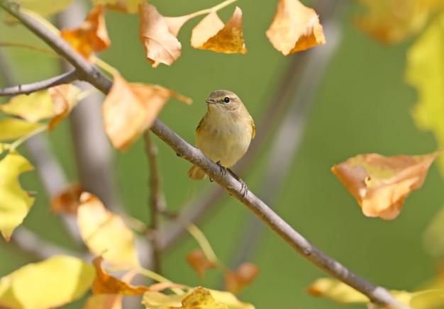 Обыкновенная луковица (phylloscopus collybita) сидит на ветке в окружении желтых осенних листьев.