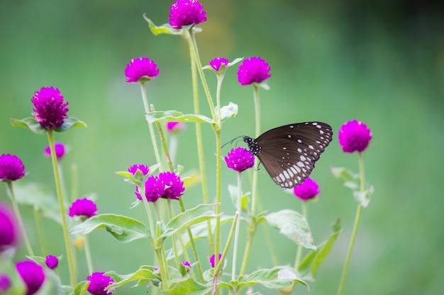 Бабочка обыкновенная ворона на цветке