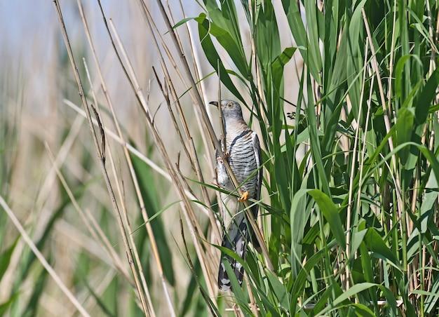 일반적인 뻐꾸기는 갈대 가지에 앉아 다른 사람의 둥지에 알을 던질 준비가되어 있습니다.