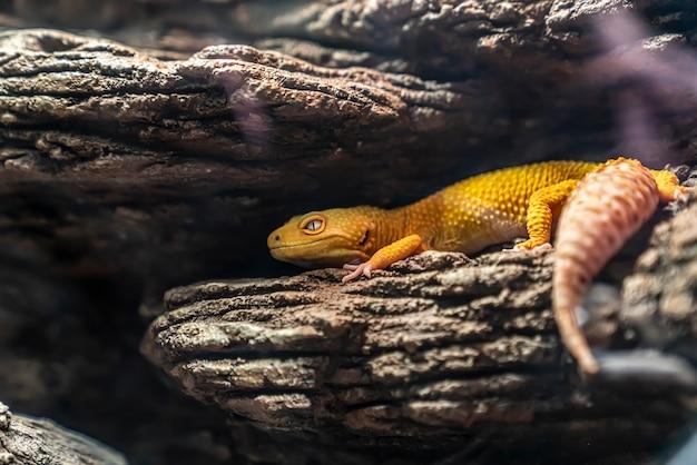 일반적인 표범 도마뱀붙이(eublepharis macularius)는 아프가니스탄, 이란, 파키스탄, 인도, 네팔의 암석이 많은 건조한 초원과 사막 지역에 서식하는 땅에 사는 도마뱀입니다.