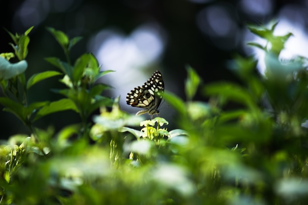 자연 서식지의 꽃 식물에 앉아 있는 커먼 라임 나비