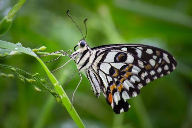 一般的な石灰蝶