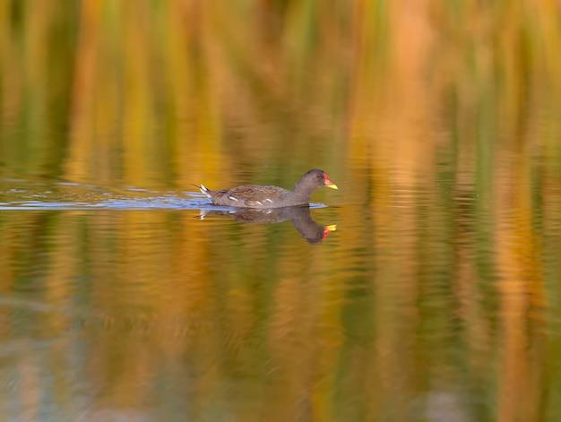Вереск обыкновенный (gallinula chloropus) плывет по спокойной воде озера с отражениями водных растений в мягком утреннем свете.