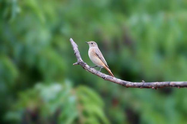 Портрет самки обыкновенной горихвостки (phoenicurus phoenicurus). птица снята на ветке на размытом фоне. фото крупным планом для опознания