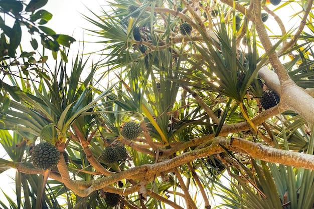 Обычная отвертка pandanus utilis родом из мадагаскара, маврикия и сейшельских островов. очень полезные и вкусные фрукты из тропических стран