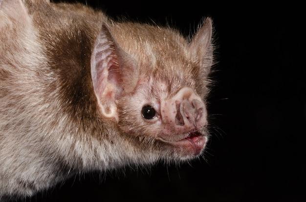 일반적인 뱀파이어 박쥐