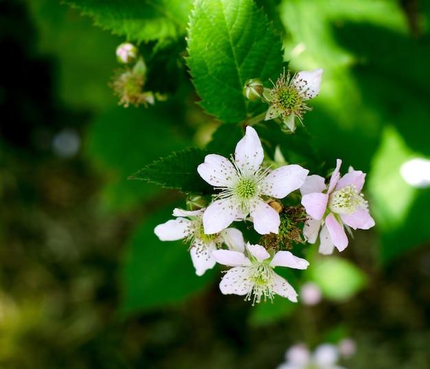 Концепция растительного фона. цветение кустов ежевики летом.