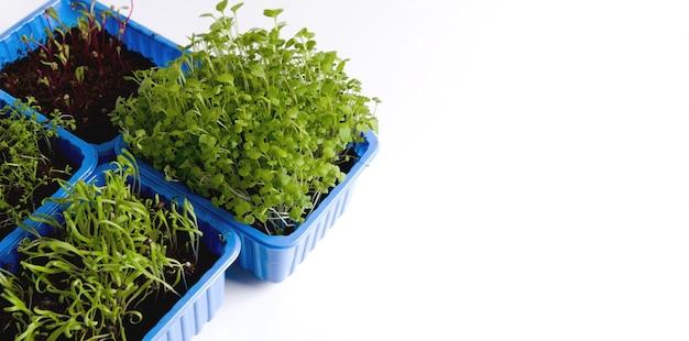 Концепция выращивания вегетарианской пищи в домашних условиях. рукола, свекла, молодой микрозелень шпината в пластиковых контейнерах на белом фоне.
