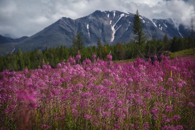 薬草の概念。アルタイ高地のイワン茶の花。花ライラック畑