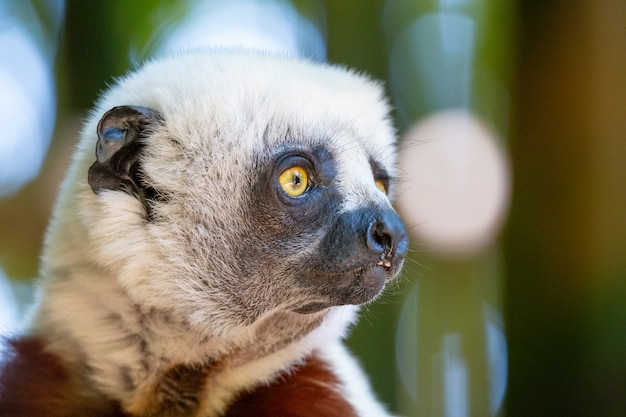 Кокерель сифака в естественной среде в национальном парке на острове мадагаскар.