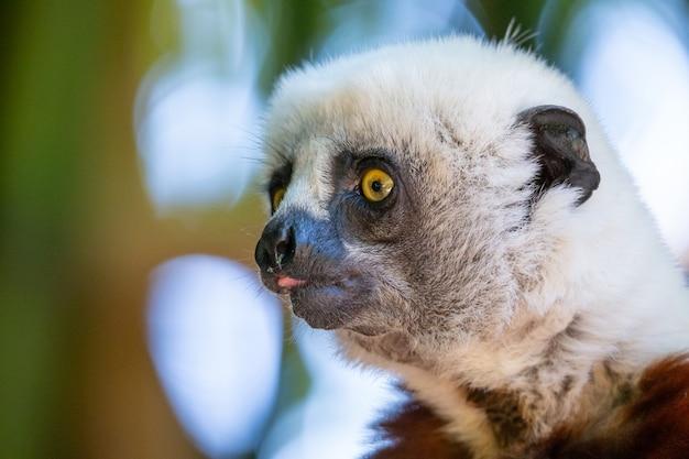 マダガスカル島の国立公園にある自然環境のコクレルシファカ。