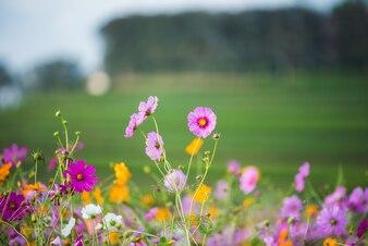 草原のコスモスフラワー