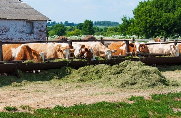 牛はサイレージを食べる