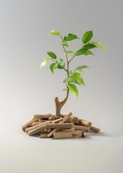エコロジーの創造的なコンセプト。枯れた棒から成長する若い芽。