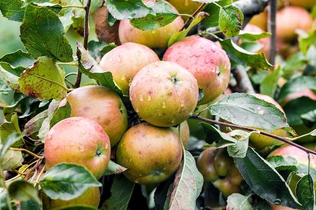 リンゴの収穫は木で熟します