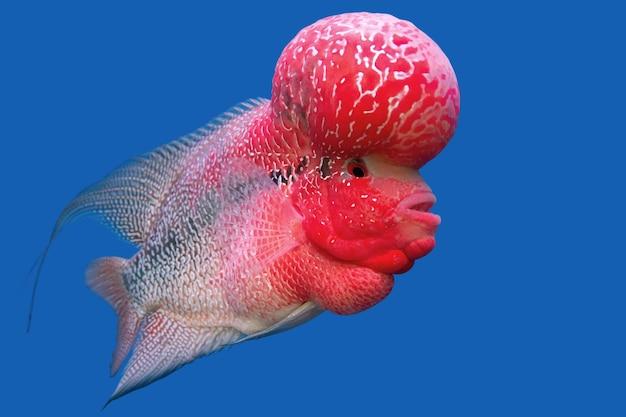 어항에 있는 잡종 시클리드 물고기(꽃뿔)