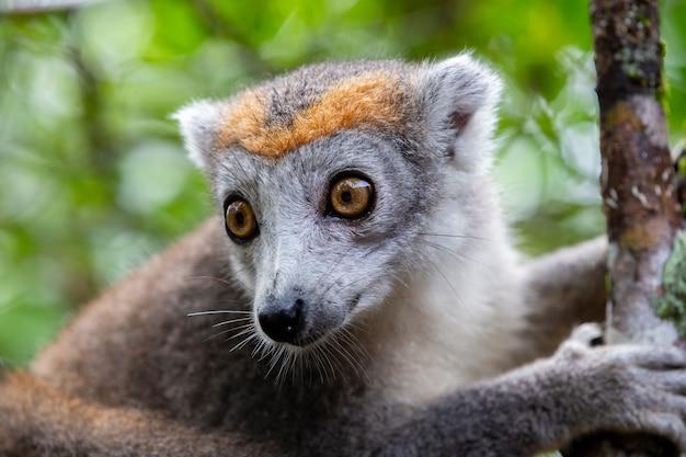 Коронный лемур на дереве в тропических лесах мадагаскара