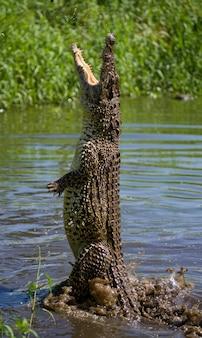 Кубинский крокодил выпрыгивает из воды. , куба.