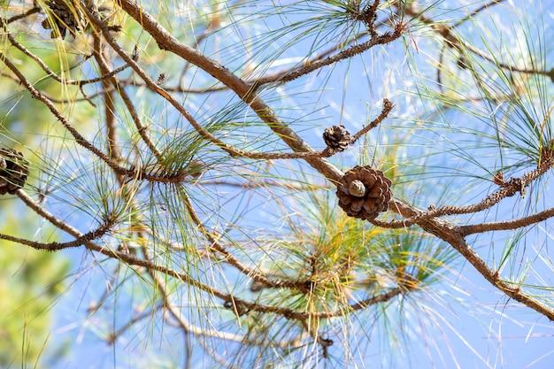 美しい松の子が繁殖を担当しています。