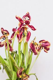 切り取られたチューリップは花瓶に。黒い背景にチューリップ。花のしおれ