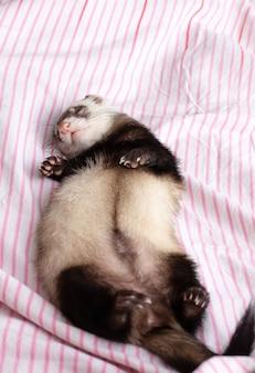 かわいいフェレットが眠っています