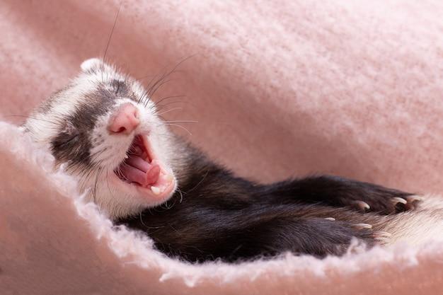 Милый хорек спит