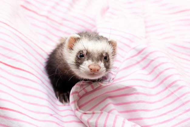 ピンクのスカーフとかわいいフェレット