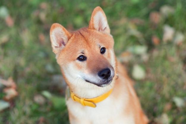 かわいい柴犬の子犬。リードなしで遊ぶ秋の公園で日本の赤い犬