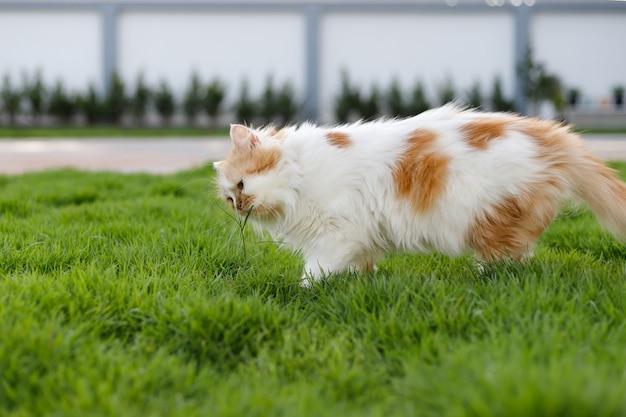かわいいペルシャ猫は、ペットの自然な医療と有機的な概念のために、緑の芝生のフィールドでハーブグラスを食べています、選択的な焦点浅い被写界深度