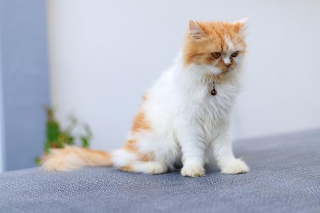 かわいいペルシャ猫は緑の芝生のフィールドに座って何かを探しています